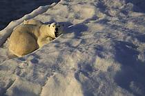 Ours polaire femelle et son petit / Polar bear and babby, Svalbard, Ile de Nordaustlandet, ref ec2777-19GE
