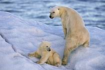 Ours polaire femelle et son petit, Svalbard, Ile de Nordaustlandet côte sud, ref ec2777-31GE