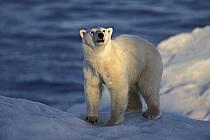 Ours polaire / Polar bear, Svalbard, Ile de Nordaustlandet, ref ec2777-35GE