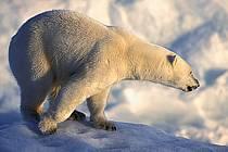 Ours polaire, Svalbard, Ile de Nordaustlandet côte sud, ref ec2777-37GE