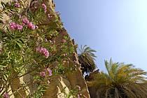 Lauriers roses dans le canyon de Banihammad, ref ed070481LE