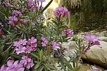 Lauriers roses dans le canyon de Banihammad, ref ed070502LE