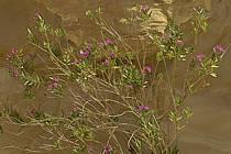 Lauriers roses dans le canyon de Gweir, ref ed070798LE
