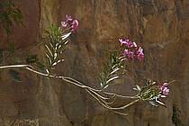 Lauriers roses dans le canyon de Gweir, ref ed070866LE