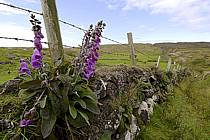Digitales / Flowers, Benmore, Murlough Bay, Fairhead Ulster, ref ed071814GE