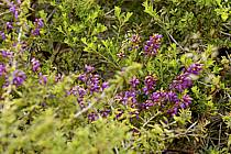 Fleurs de bruyère, Donegal, ref ed071994LE