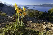 Fleurs devant le Lago Nahuel Huapi, San Carlos de Bariloche, Patagonie - Flowers in front of the Lago Nahuel Huapi, San Carlos de Bariloche, Patagonia, ref ed072317LE