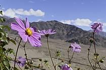 Fleurs, vallée de l'Indus, Ladakh - Flowers, Indus valley, Ladakh, ref ed081979LE