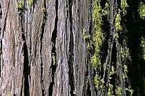 Séquoias, Yosemite National Park, Californie, ref fa0669-23LE