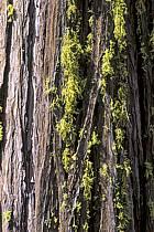 Séquoias, Yosemite National Park, Californie, ref fa0669-24LE