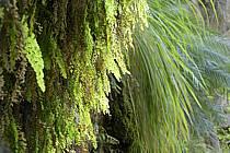 Plantes vertes dans le canyon de Banihammad, ref fa070483LE