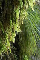 Plantes vertes dans le canyon de Banihammad, ref fa070484LE