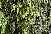 Plantes vertes dans le canyon de Banihammad, ref fa070485LE