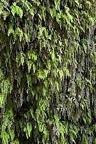Plantes vertes dans le canyon de Banihammad, ref fa070487LE