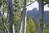 Eucalyptus, Massif de l'Estérel - Eucalyptus, Esterel, ref fa082617LE