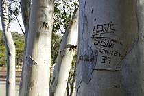 Tronc d'Eucalyptus gravé, Massif de l'Estérel - Engraved Eucalyptus trunk, Esterel, ref fa082619LE